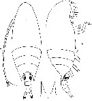 Species Aetideus armatus - Plate 7 of morphological figures