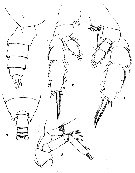 Species Pseudochirella spinosa - Plate 1 of morphological figures