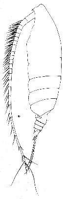 Species Chirundinella magna - Plate 8 of morphological figures