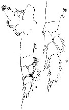 Species Chirundinella magna - Plate 9 of morphological figures