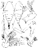 Species Chiridiella brooksi - Plate 2 of morphological figures