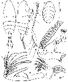 Species Chiridiella gibba - Plate 2 of morphological figures