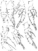 Species Chiridiella gibba - Plate 3 of morphological figures