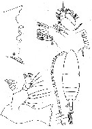 Species Calanoides acutus - Plate 4 of morphological figures