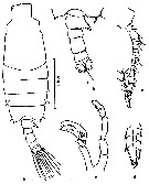 Species Candacia longimana - Plate 6 of morphological figures