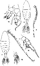 Species Centropages bradyi - Plate 7 of morphological figures