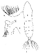 Species Haloptilus ornatus - Plate 7 of morphological figures