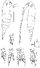 Species Calanus pacificus - Plate 4 of morphological figures