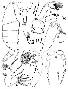 Species Temorites intermedia - Plate 1 of morphological figures