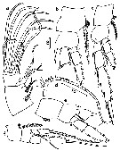 Species Temorites intermedia - Plate 2 of morphological figures