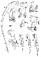 Species Neocalanus plumchrus - Plate 12 of morphological figures