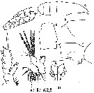 Species Euchaeta media - Plate 14 of morphological figures