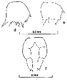 Species Clausocalanus lividus - Plate 12 of morphological figures