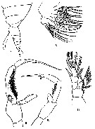 Species Jaschnovia brevis - Plate 3 of morphological figures