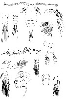 Species Stephos minor - Plate 2 of morphological figures