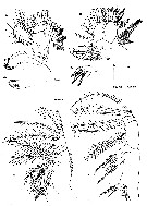 Species Neomormonilla extremata - Plate 3 of morphological figures