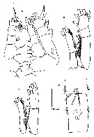 Species Neomormonilla polaris - Plate 3 of morphological figures