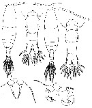 Species Acartia (Acanthacartia) bifilosa - Plate 6 of morphological figures
