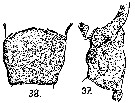 Species Acartia (Hypoacartia) adriatica - Plate 4 of morphological figures