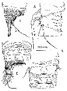 Species Misophriopsis australis - Plate 2 of morphological figures