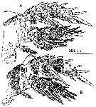 Species Misophriopsis australis - Plate 7 of morphological figures