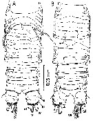 Species Misophriella schminkei - Plate 2 of morphological figures