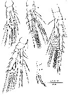 Species Mesaiokeras hurei - Plate 4 of morphological figures