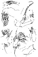 Species Paracomantenna minor - Plate 5 of morphological figures