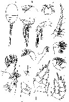 Species Benthomisophria palliata - Plate 13 of morphological figures