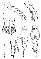 Species Speleophria bunderae - Plate 2 of morphological figures