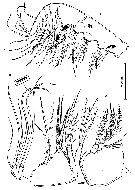 Species Speleophria bunderae - Plate 5 of morphological figures