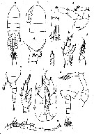 Species Pseudodiaptomus marinus - Plate 10 of morphological figures