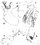 Species Rhamphochela carinata - Plate 2 of morphological figures