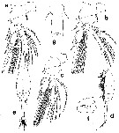 Species Haplopodia petersoni - Plate 2 of morphological figures